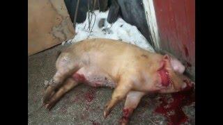 18+Резьба свиньи за 10 секунд в селе Сторожевом ч. 4