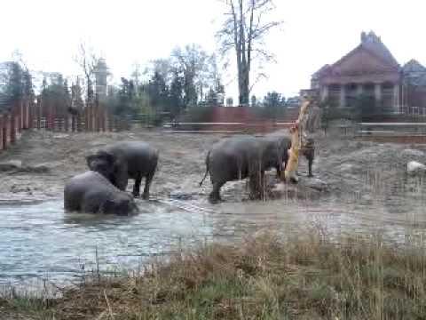 Elefanterne udenfor for første gang om morgonen d.8.maj 2013 kl.9