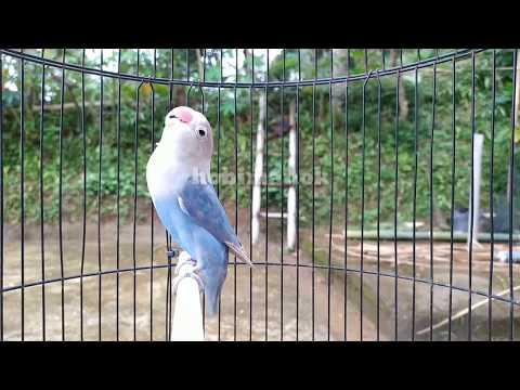 Pancingan lovebird fighter ngetik ngekek mantap