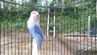 Download Pancingan lovebird fighter ngetik ngekek mantap
