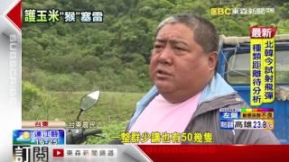 砰! 玉米收成時 台東農民鳴槍趕獼猴