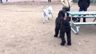 Black Russian Terrier Koba And Willow The Irish Wolfhound Again