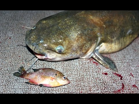 Catch channel catfish and flathead catfish before work using shad from YouTube · Duration:  7 minutes 53 seconds  · 26,000+ views · uploaded on 11/13/2015 · uploaded by Catfish and Carp