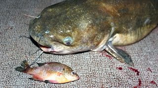 How to catch catfish with bluegill - fishing for catfish with bluegill
