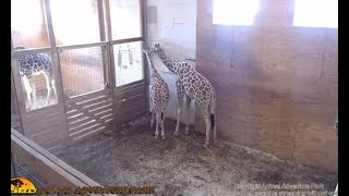Tajiri the giraffe set to celebrate his first birthday