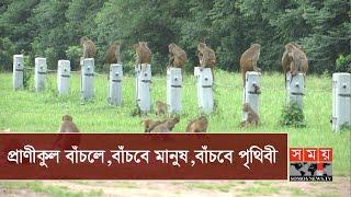 বানরের আবাসভূমি ঢাকা ক্যান্টনমেন্ট | Monkey In Dhaka Cantonment | Somoy TV