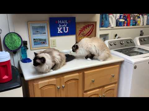4 Ragdoll Cats Summer 2019: Caymus, Murphy, Charlie and Trigg - Floppycats