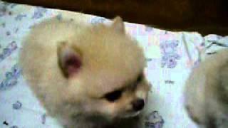 Nemački Mali špic - Puppy štenad Mladunčad