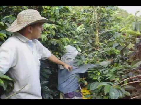 Siembra De Cafe En Guatemala