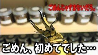 ババオウゴンオニクワガタ・幼虫・カワラ菌糸・産卵セット・繁殖 <くろ...