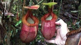 Hayvanları Yiyip Bitiren 9 Korkunç Bitki -  1 numarayı ilk kez göreceksiniz.