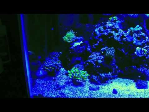33-gallon-lps,-sps,-&-soft-coral-tank.