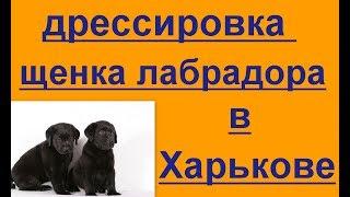 дрессировка щенка лабрадора в Харькове