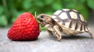 Turtle - słodkie i zabawne filmy żółwia. Kompilacja | Nowy, HD
