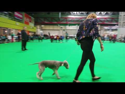 Crufts 2019 - Bedlington Terrier - Junior Dog