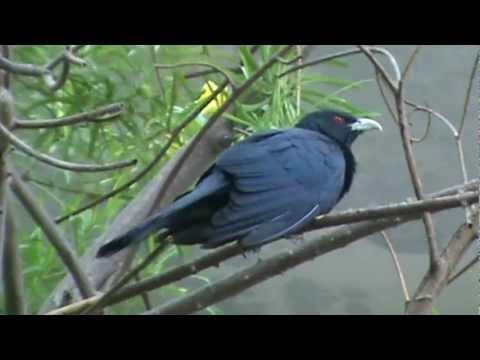 Singing cuckoo