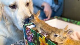 Golden Retriever Welcomes Baby Bunnies [CUTENESS OVERLOAD]