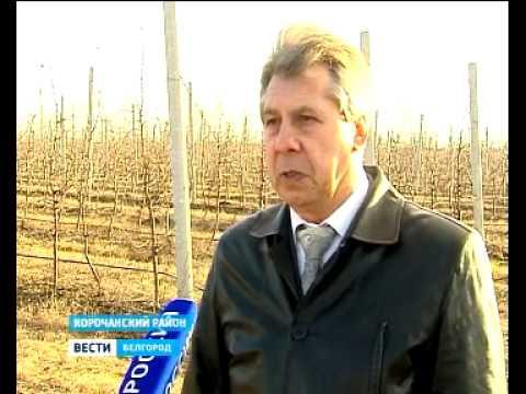 Производство яблок в Корочанском плодопитомнике Белгородской области, ВЕСТИ