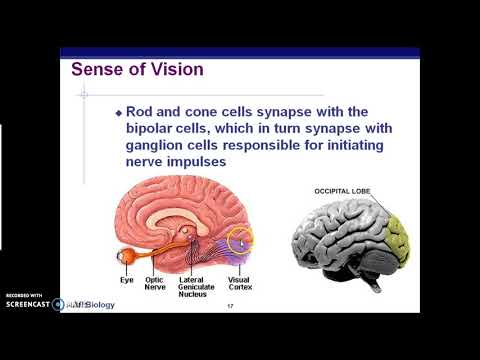 AP Biology: Senses and Reflex Arcs