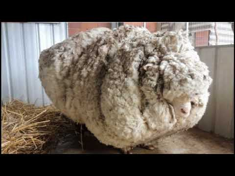 Animal Rights Activists Caused Animals To Suffer Sheep Shearing || Facts Academy Video