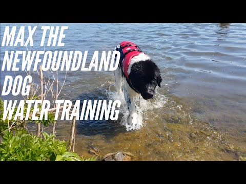 Max , Newfoundland dog water training #newfoundland #watertraining #swimming #dog #animal