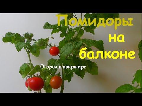 Помидоры на балконе.Сорт Бонсай | подоконнике | помидоры | квартире | домашний | балконе | балкона | томаты | огород | бонсай | сорт