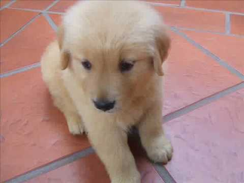 Golden Retriever India Gala Youtube