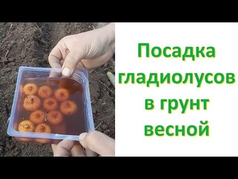 НЕ САЖАЙТЕ ЛУКОВИЦЫ ГЛАДИОЛУСОВ В ГРУНТ, ПОКА НЕ ПОСМОТРИТЕ ЭТО ВИДЕО! Выращивание гладиолусов.