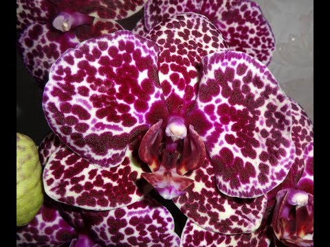 🌸Продажа орхидей по Украине. Отправка в любую точку. (завоз 31 мая 19 г.) ЗАМЕЧТАТЕЛЬНЫЕ КРАСОТКИ