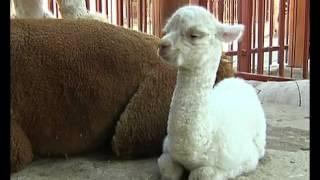 В липецком зоопарке родился детёныш альпаки
