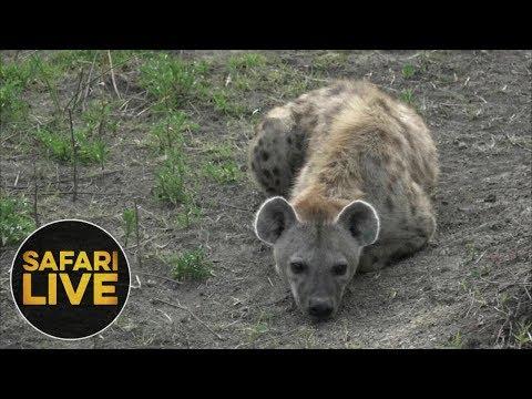 safariLIVE - Sunset Safari - November 10, 2018