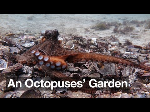 Did They Mean To Do That Accident And Intent In An Octopuses Garden