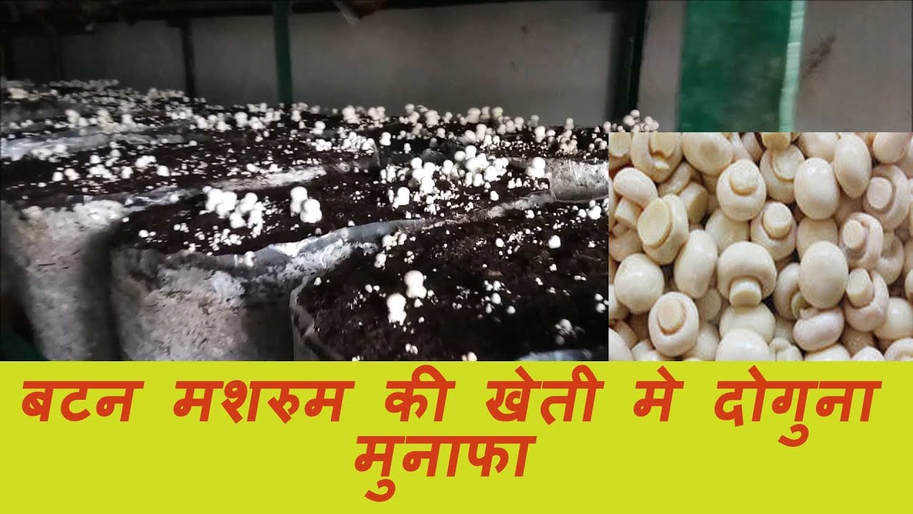 Basic Knowledge of Button Mushroom Cultivation Part One