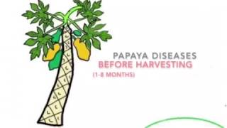 Papaya Bacterial crown rot, Phytophthora,Stem rot,Leaf Curl Virus,Yellowing of Leaves,papita,पपीता
