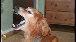 Dogs In Mid-yawn