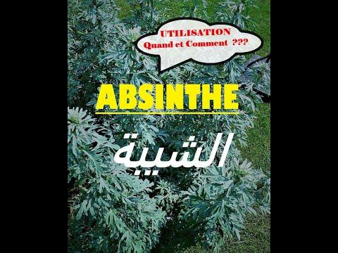ABSINTHE | ARTEMISIA ABSINTHIUM | CHIBA | الشيبة