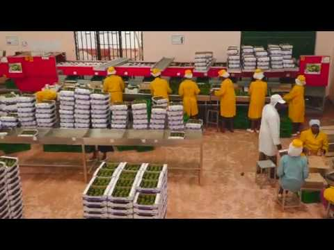 Organic Avocados Farming in Kenya by Jungle Avos