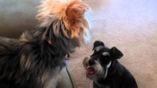 Mini Schnauzer And Yorkie Playing