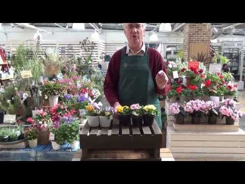 How to Care for Primroses from Protoleaf Channel