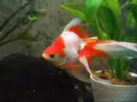 The Most Beautiful Giant Big Red Oranda Goldfish
