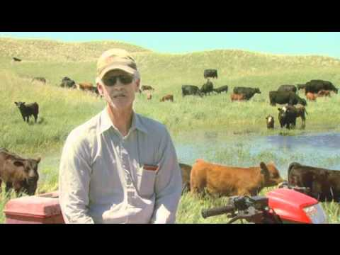 Cattle Handling Tips - Branding