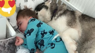 Baby Refuses To Sleep Without His Huskies! [HE IS TALKING NOW!!]