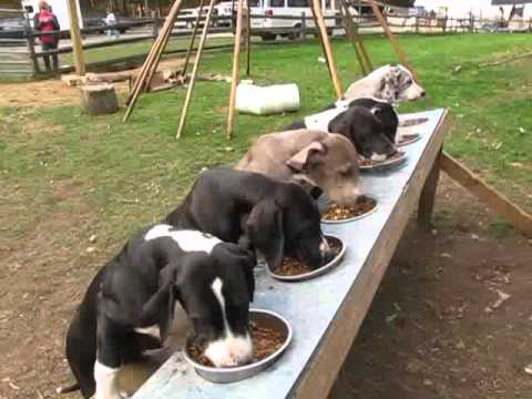 Puppy Hill Great Danes dinnertime!