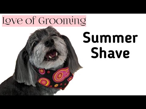 Summer Shave Down On A Morkie
