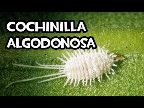 Cochinilla la plaga m s temida para nuestras plantas doovi for Eliminar cochinilla algodonosa