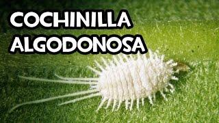 the grana cochinilla the most important Grana 2 f cochinilla 2 quermes, insecto excrecencia que el quermes forma en la coscoja y que, exprimida, produce color rojo color rojo obtenido de ella: el.