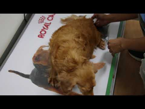 A 4-year-old Dachshund contracted but no pups. Caesarean.  Pt 1/3