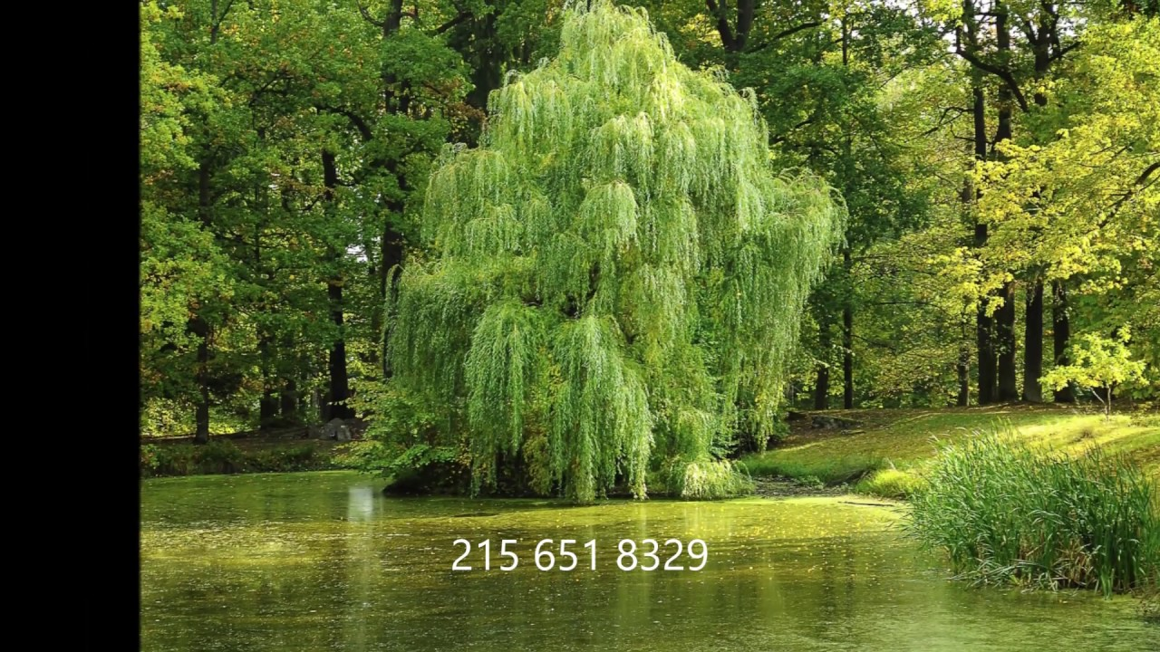 Growing Willow Trees Starting with a cutting - YouTube