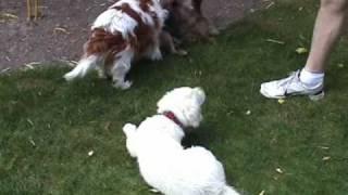 Easy Border Terrier Et Ses Voisines Zoé, Cavalier K.c. Et Fiesta, Chiot Golden Retriever