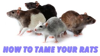 How To Tame Your Rats